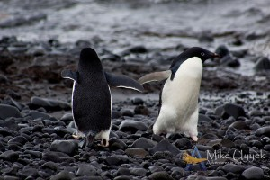 Penguin High Five